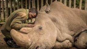 """اللحظات الأخيرة فى حياة """"سودان"""" آخر وحيد قرن أبيض على وجه الأرض"""