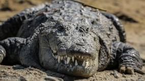 نفوق تمساح هتلر بحديقة للحيوان في موسكو